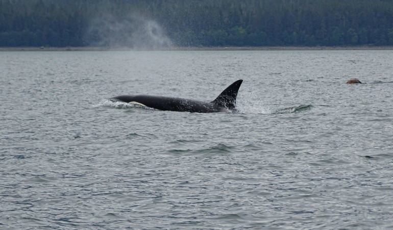 Whale Watching in Juneau – Alaska