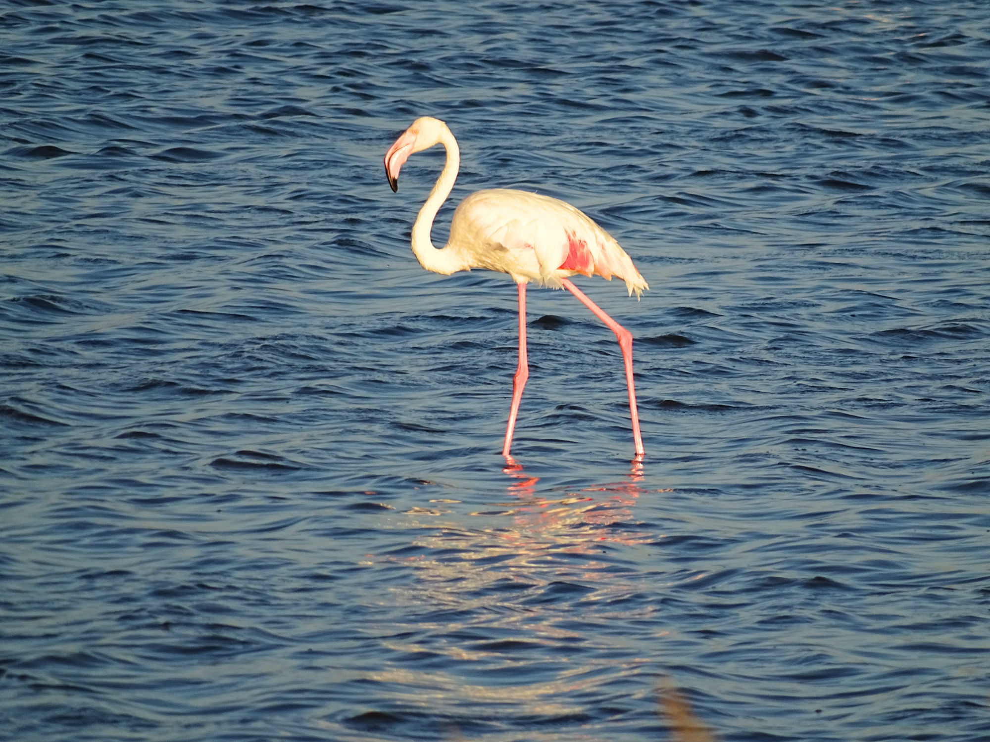 Flamingo in der Elends Bay Bucht