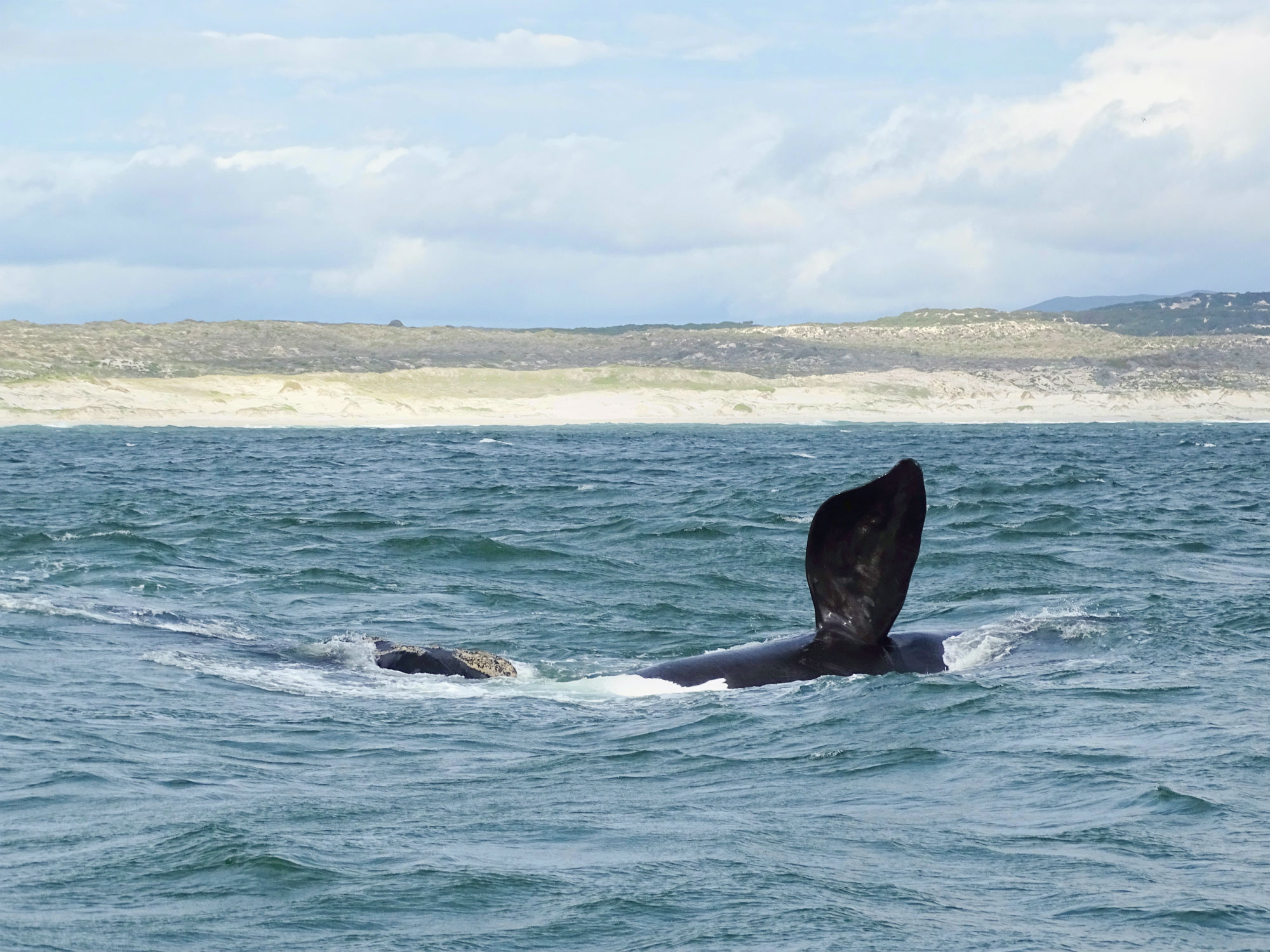 Southern Right Whale in der Walker Bay bei Hermanus