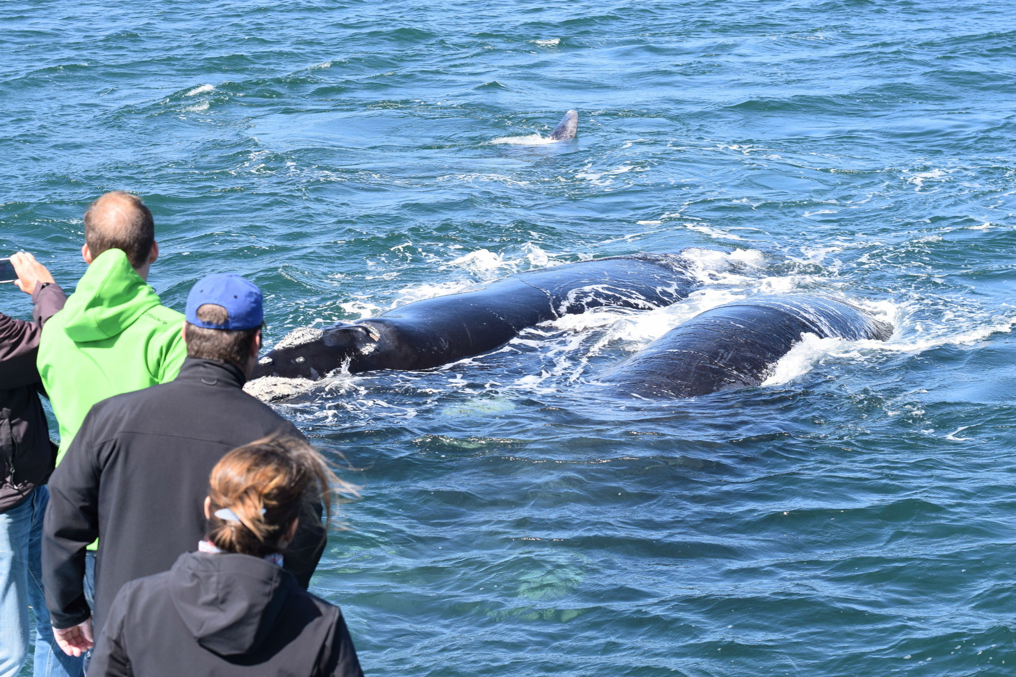 Whale Watching Tour in der Walker Bay