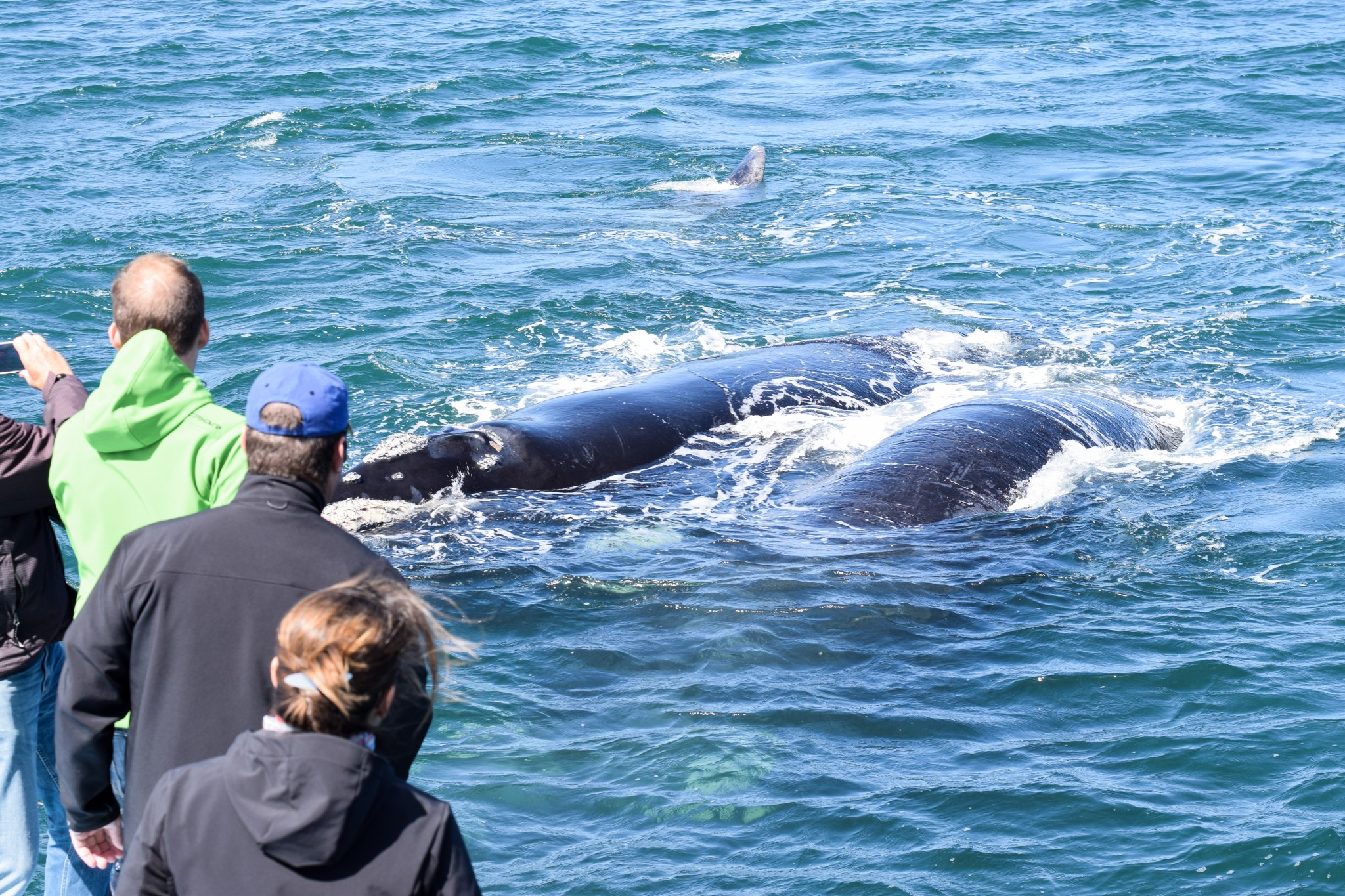 Whale Watching Tour mit Ivanhoe Sea Safaris